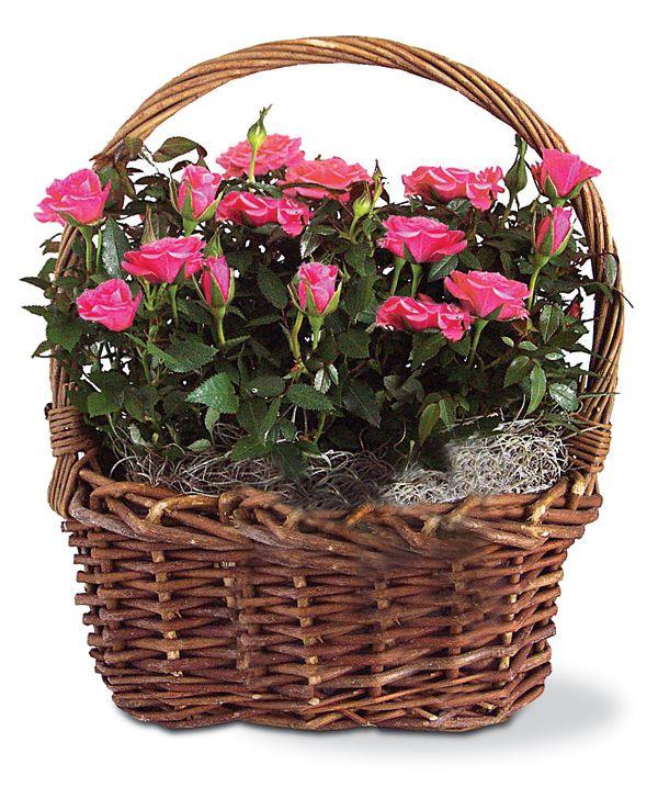 Baby Girl Mini Roses Planter