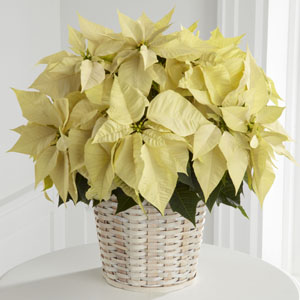 Poinsetta White Large