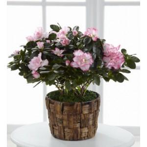 Azalea Plant Delivery