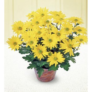 Potted Chrysanthemum