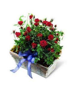 Roses Planter